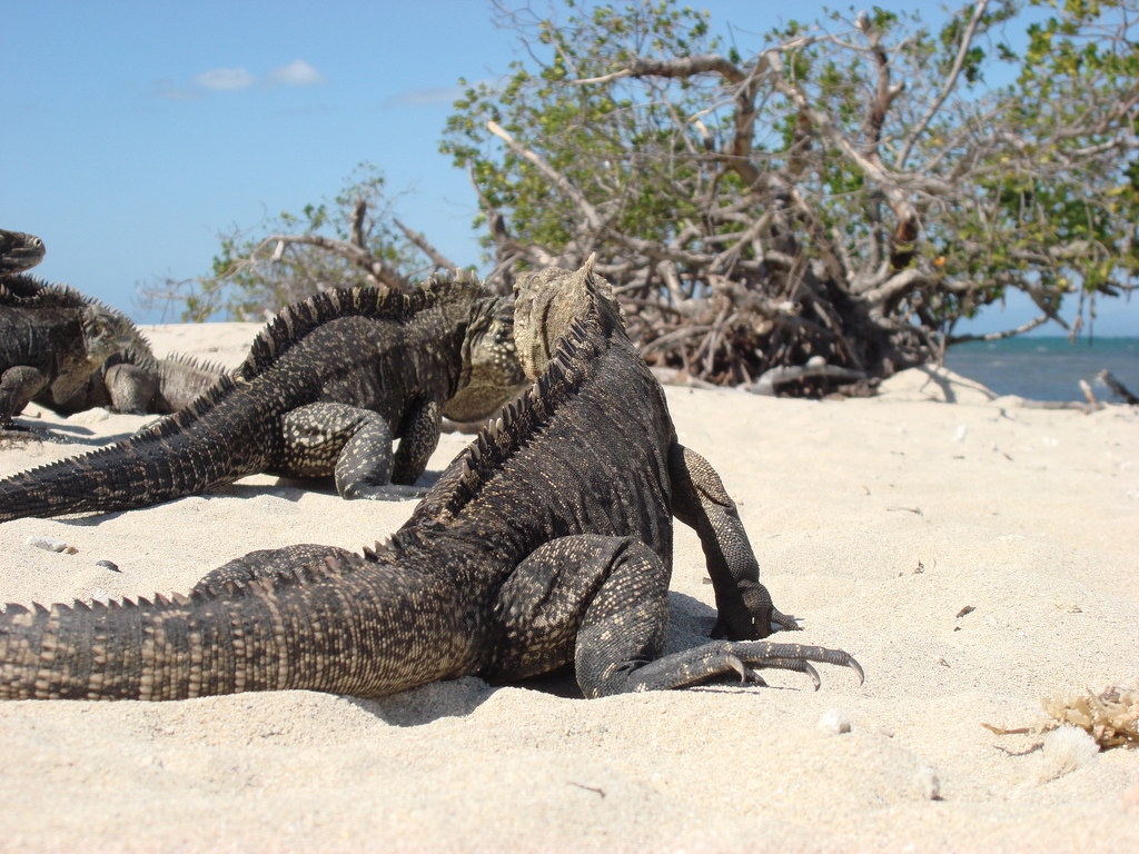 Cuban rock iguanas