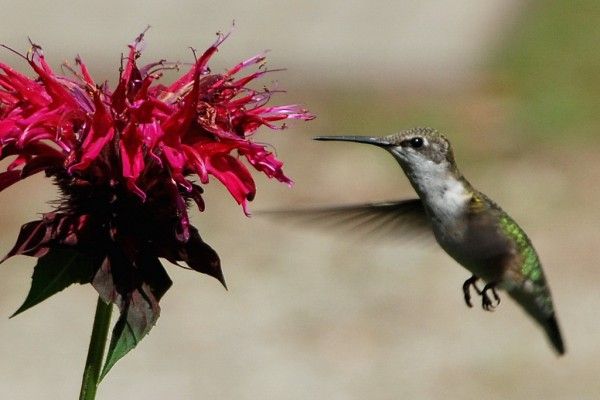 The Bee Hummingbird Vermont Scribes/Flickr